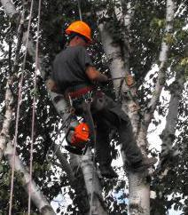 Edmonton Arborist Pruning Birch Tree- Just Trees Canada Inc.