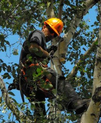 Arborist-in-Edmonton-Pruning-Birch-Tree