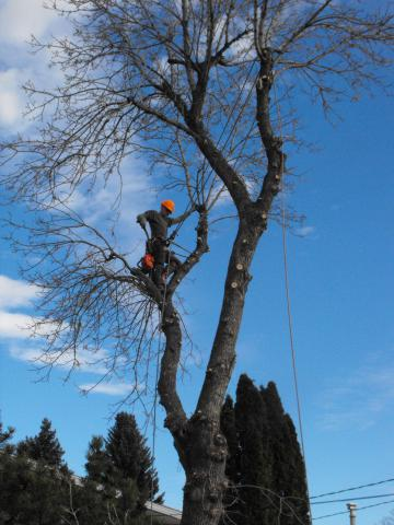 Green Ash Tree Removal Edmonton